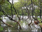 Mangroves Tree