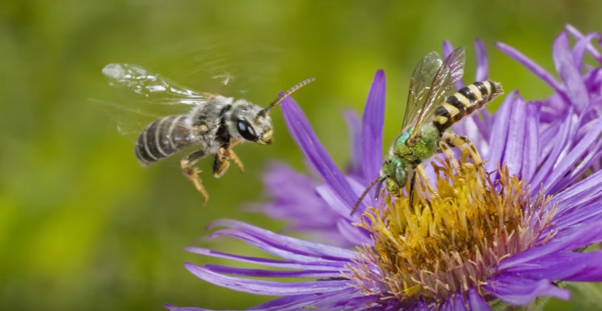 A Ghost In The Making: Searching for the Rusty-patched Bumble Bee