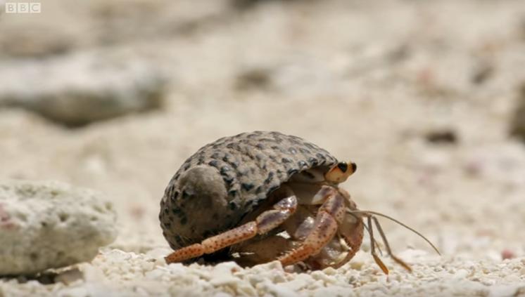 Amazing Crabs Shell Exchange - Life Story - BBC