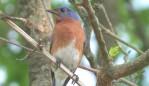 Blue Songbirds.mov