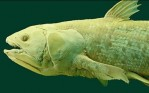 Amphioxus, A Living Fossil And Is Clue To Brain Evolution