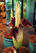 The Titan Arum (Amorphophallus titanum), also known as the Corpse Flower, on display at the Tropical Centre in the Royal Botanical Gardens in Sydney, Australia