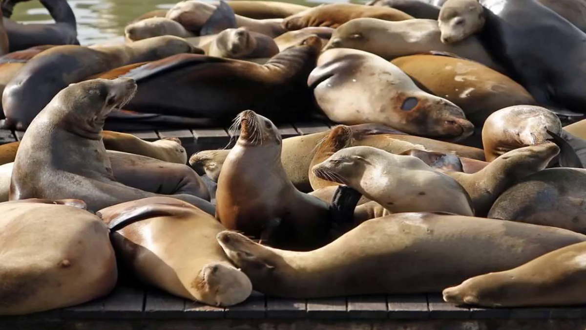 Rising number of sea lions treated for poisoning linked to algae blooms by BuzzFresh News
