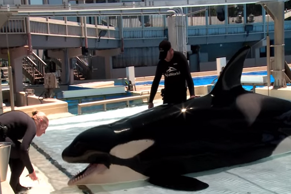 Kasatka is he matriarch of SeaWorld San Diego's killer whale family