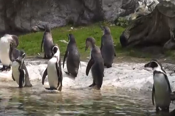 Humboldt penguin playing
