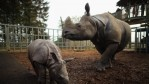 Jamil the four week old Greater One Horned Rhinoceros stands with her mother Behan in their enclosure at Whipsnade Zoo on January 8, 2013 in Dunstable, England.
