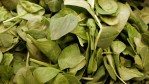 Researchers discovered that spinach plant genomes have more room to grow.